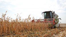 Cultura de porumb din județul Dolj a fost afectată de secetă   în proporție de 70%  (Foto: Bogdan Grosu)