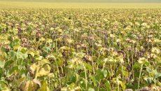 Producţia de floarea-soarelui a fost afectată de secetă în proporție de 50%  (Foto: Arhiva GdS)