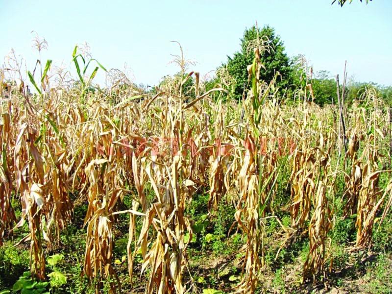 71.300 de hectare de porumb au fost afectate de secetă