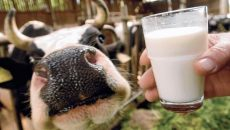 vaca-lapte-productia-agricola