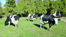 Vacile de la Şimnic, uzină de lapte (Foto: Claudiu Tudor)