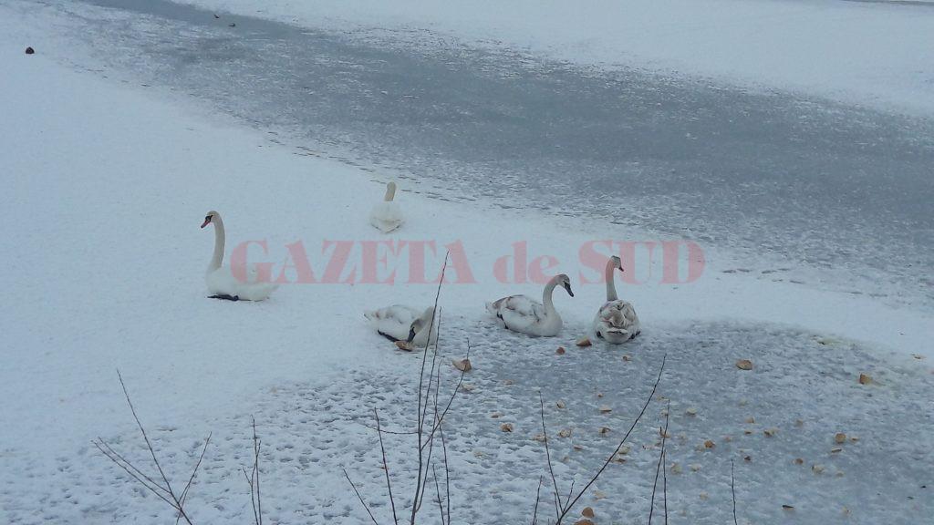 Micile colonii de păsări au de suferit din cauza podului  de gheaţă format pe Dunăre