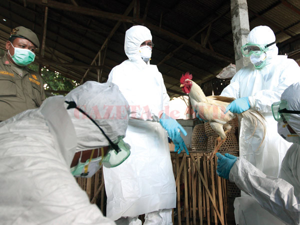 FILE - In this Thursday, April 26, 2012 file photo, Balinese government officials prepare to cull chickens as a precautionary measure to prevent the spread of bird flu, at a market in Denpasar, Bali, Indonesia after an 8-year-old boy died from bird flu. The virus rarely infects people, but scientists are worried it could mutate and spread more easily. On Wednesday, May 2, 2012, a scientific journal published a study showing how scientists created their own lab-made bird flu virus. The experiment was an effort to figure out how to thwart a global epidemic. (AP Photo/Firdia Lisnawati)