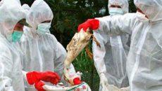 gripa-aviara-pasari-migratoare-15-2-17