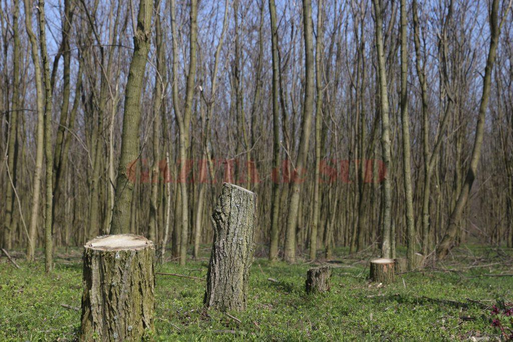 Așa arăta pădurea din Daneți în aprilie, anul trecut, când Gazeta de Sud scria că a fost lăsată pradă hoților de lemne