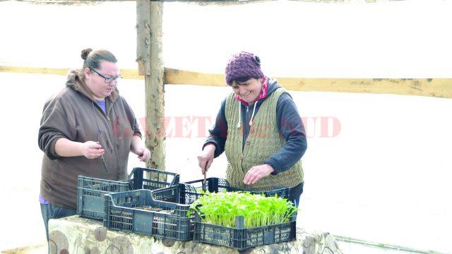 În această perioadă, mulţi dintre legumicultorii din Cioroiu Nou se ocupă de repicarea roşiilor (FOTO: Claudiu Tudor)