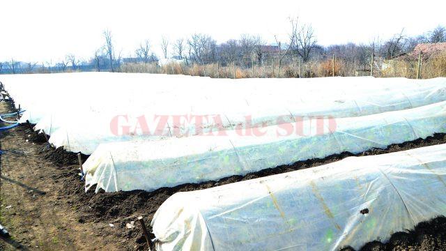 Unii fermieri din satul Cioroiu Nou plantează varză în tuneluri (FOTO: Claudiu Tudor)
