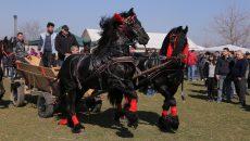 Printre participanţii la concurs au fost şi animale de rasă aduse din Olanda şi accesorizate cu hamuri de mii de euro (Foto: Lucian Anghel)