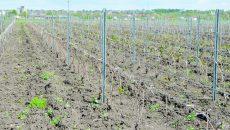 Hectare întregi de vii au fost afectate de brumă în Segarcea ()