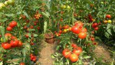 Zeci de cultivatori de tomate ar putea beneficia de subvenţii