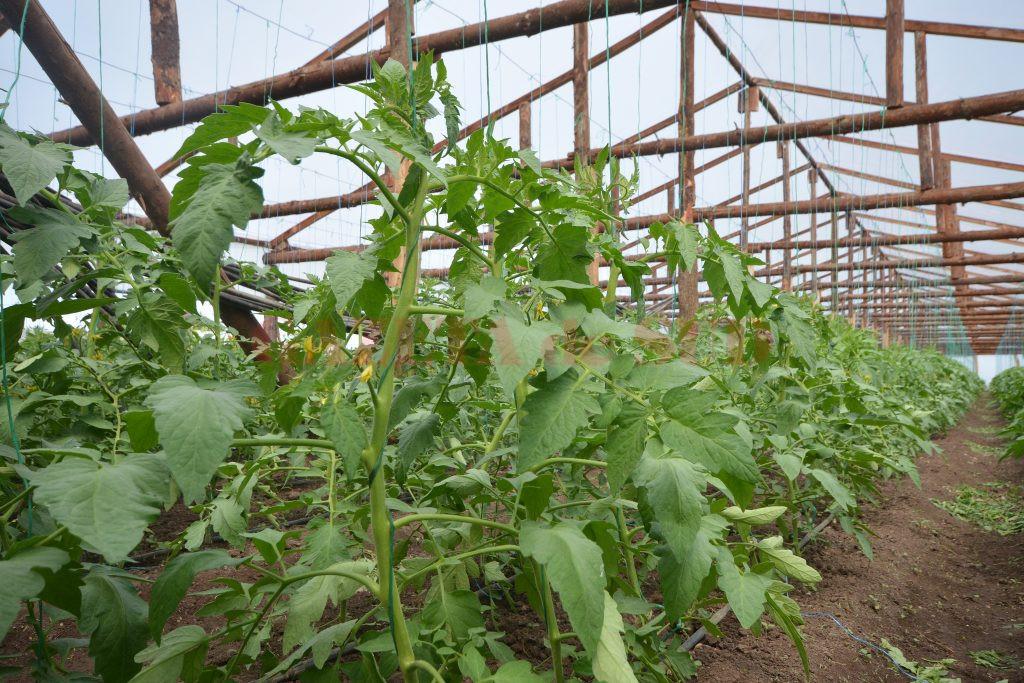În solariile familiei Baronescu se produc legume create special pe gustul clienţilor (Foto: Bogdan Grosu)