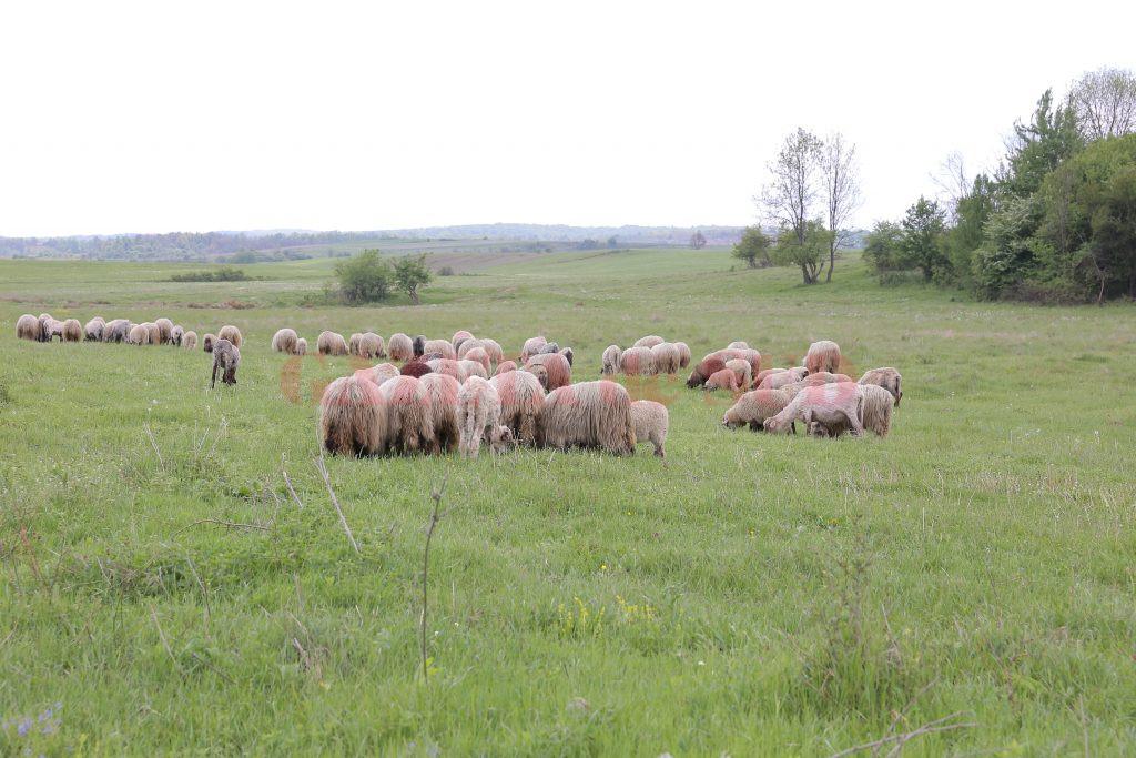 Cei mai mulţi fermieri din Căzăneşti se ocupă cu creşterea animalelor (Foto: Lucian Anghel)