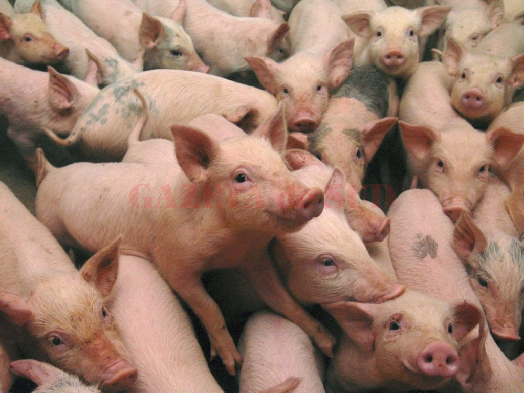 porc-onlinereport.ro_