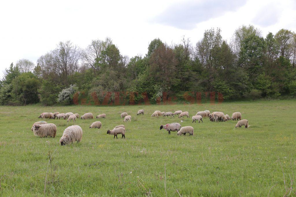 De acum înainte, crescătorii de ovine vor putea să-şi păşuneze animalele în orice perioadă a anului (Foto: Arhivă GdS)
