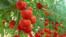 Cultivarea tomatelor aduce beneficii