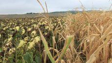 Porumbul şi floarea-soarelui, culturile cele mai afectate de secetă