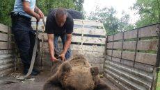 Ursul a fost transportat în zona montană şi eliberat în sălbăticie