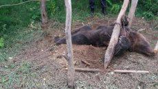 Până în prezent, patru urşi au fost prinşi în gospodăriile populaţiei