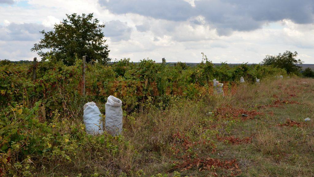 Deşi avem din ce în ce mai puţine suprafeţe viticole, producţia de struguri în Dolj va fi una destul de bună anul acesta