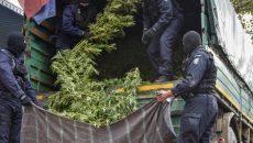 Aproximativ două tone de plante de canabis au fost ridicate de oamenii legii în urma acțiunii de vineri