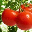 tomate_gradina