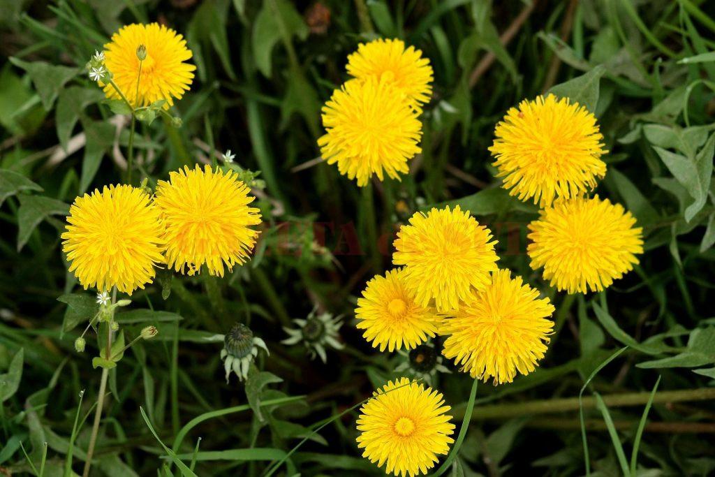 plante care detoxifica ficatul)