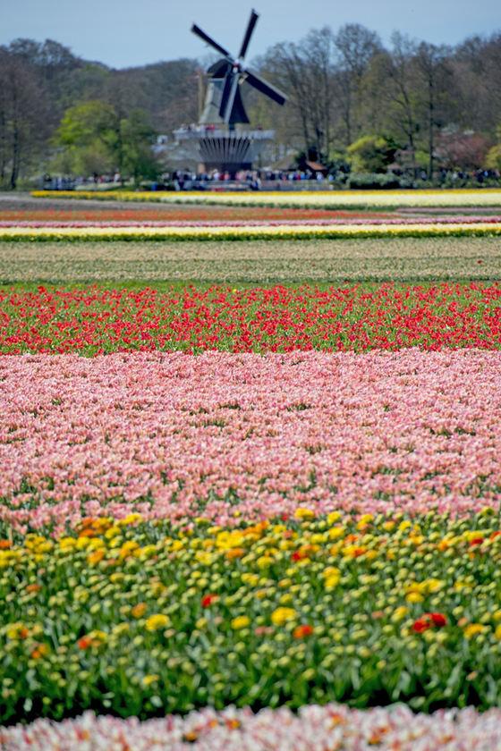 Lalele olandeze (Foto Mediafax)