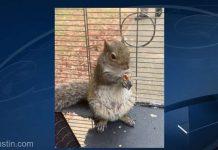 A dopat o veveriţă cu amfetamină pentru a o face animal de atac