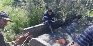 Cal salvat dintr-un bazin plin cu apă