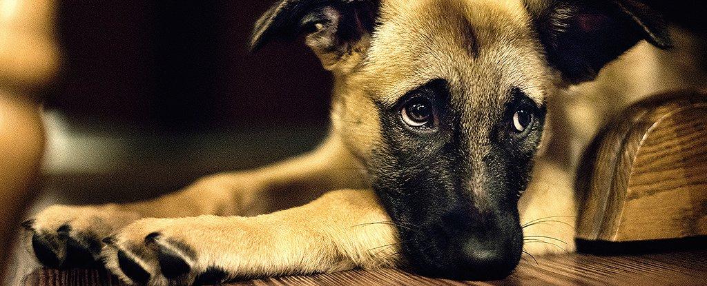 Câinii folosesc expresii faciale pentru a comunica cu oamenii