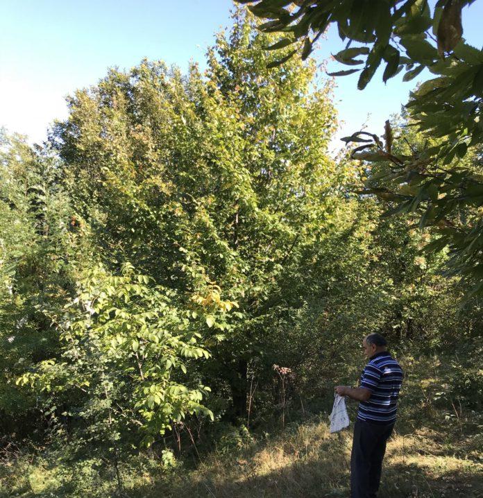 Pădurile de castani de la Tismana sunt protejate de lege
