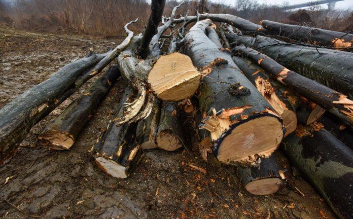 Anchetatorii au reţinut că edilul Dunărinţu a dispus tăierea unei păduri din Baia de Aramă