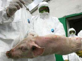 Un caz de pestă porcină în Băbeni