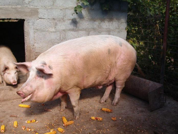 Institutul de Diagnostic și Sănătate Animală a confirmat diagnosticul de pestă porcină africană prin identificarea genomului viral în probele recoltate