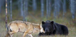 Intâlnire pașnică între lup și urși la Brașov