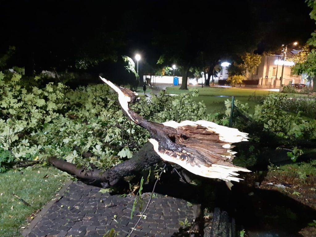 Copac doborat de furtuna