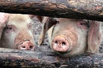 Bulgaria: Focar de pestă porcină într-un sat aflat la 15 km. de granița cu România