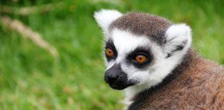 A furat un lemur de la zoo, apoi l-a abandonat la hotel