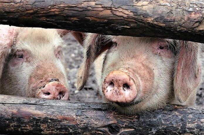 26 de focare de pestă porcină africană, în opt localități din Olt