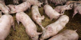 Olt: Peste 1.500 de porci uciși din cauza pestei, în 14 localități afectate