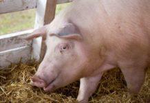 Două focare de pestă porcină africană la Cilieni