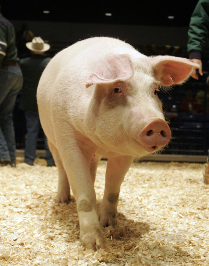 Peste 1.100 de focare de pestă porcină în 316 localități din 25 de județe
