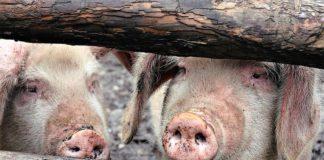 Pesta porcină africană