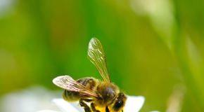 Venin de albine: proprietăţi şi beneficii