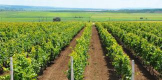 Anchetatorii susţin că infracţiunile au fost comise în cadrul unui proiect privind înființarea unei plantații viticole.