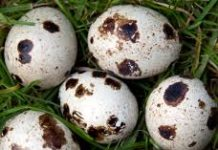 Oul de prepeliță conține fier și potasiu de cinci ori mai mult decât cel de găină