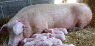 Primul caz de pestă porcină africană, depistat în Gorj