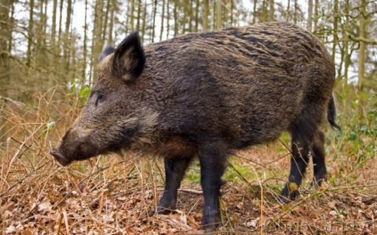 Pestă porcină la Zoo Galați, 29 de animale vor fi eutanasiate