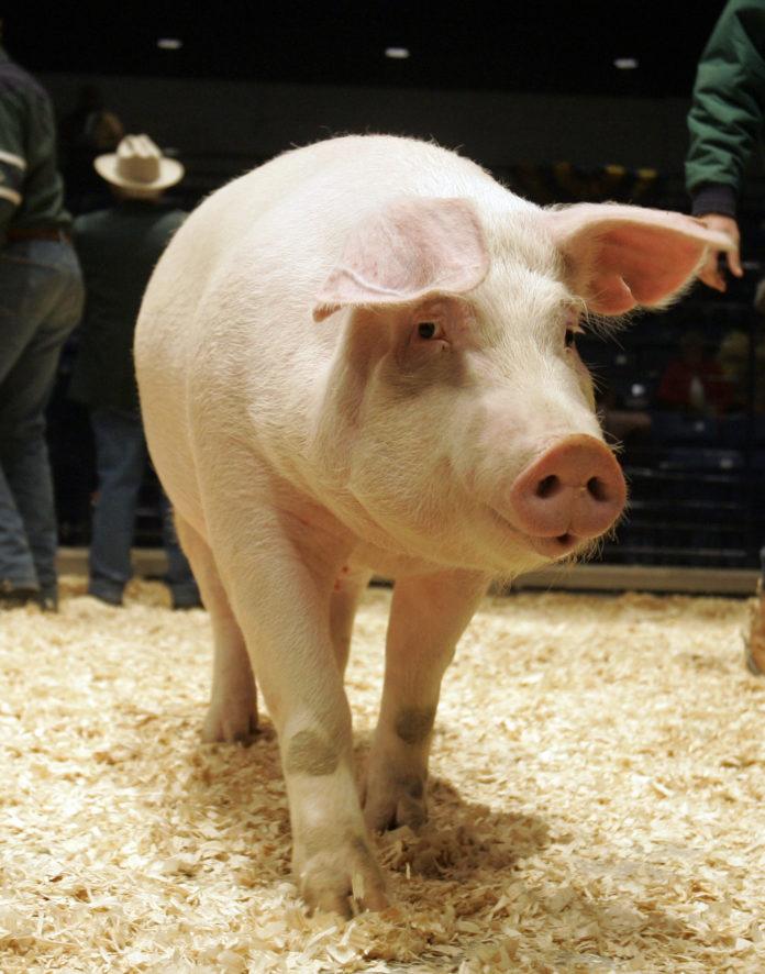 Pesta porcină ar fi ținută sub control de autorități