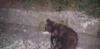Urs lovit de patru maşini
